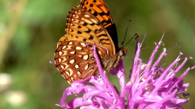 Orange Aphrodite firtillary butterfly on bee balm horsemint wildflower Evergreen Colorado