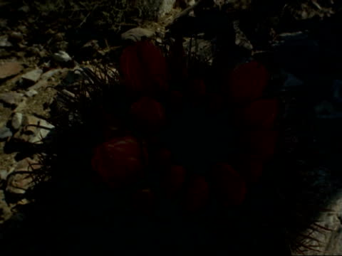 t/l orange barrel cactus flowers opening, from night to day, usa - barrel cactus stock videos and b-roll footage
