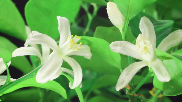 Orange blossom blooming 4K