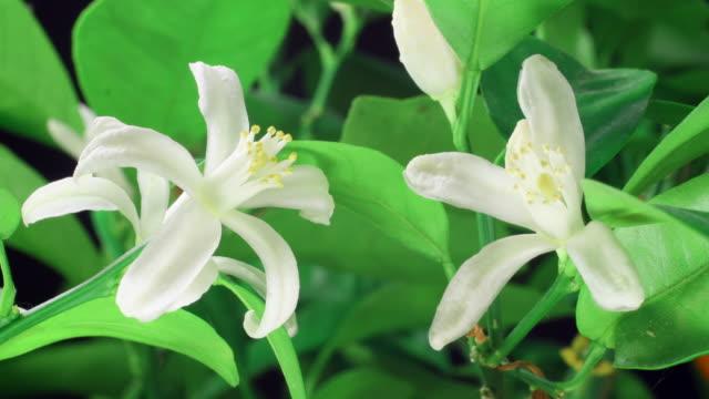vidéos et rushes de orange blossom blooming 4 k - arbre en fleurs