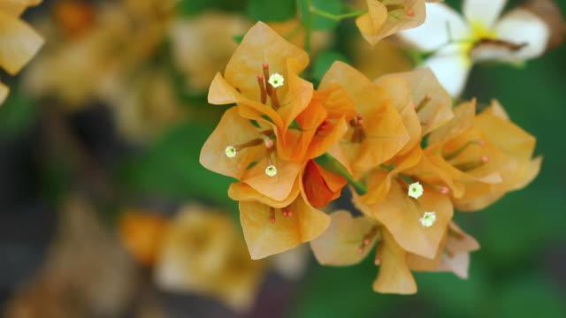 orange bougainvillea - staubblatt stock-videos und b-roll-filmmaterial
