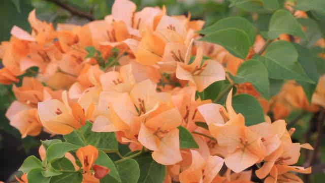 orange bougainvillea - tropical bush stock videos & royalty-free footage