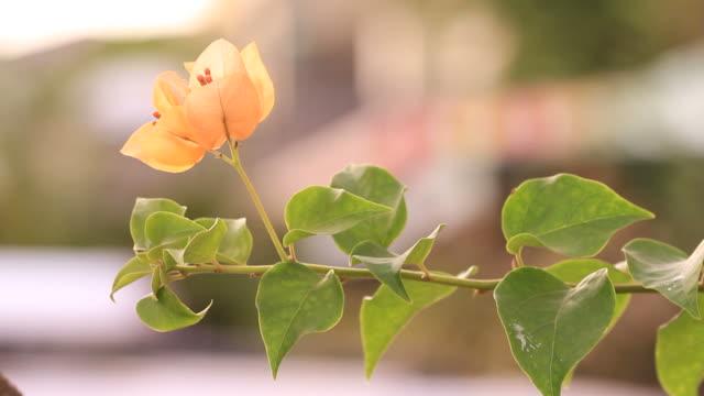 vídeos de stock, filmes e b-roll de laranja orange bougainvillea - arbusto tropical