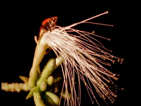 ms orange bug with black spots on rotating feathery flower, amazon, south america - 動物の色点の映像素材/bロール