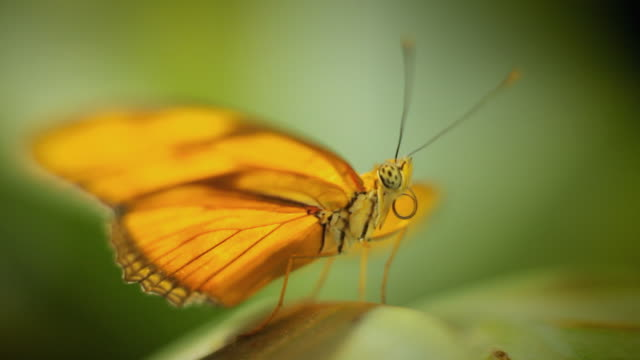 MS SELECTIVE FOCUS Orange butterfly sitting on green plant / Berlin, Germany