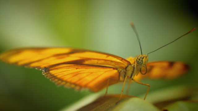 ms selective focus orange butterfly taking off from green plant / berlin, germany - 羽ばたく点の映像素材/bロール