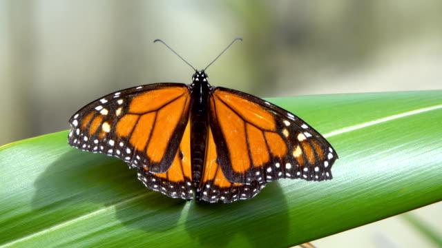orange butterfly - monarch butterfly stock videos & royalty-free footage