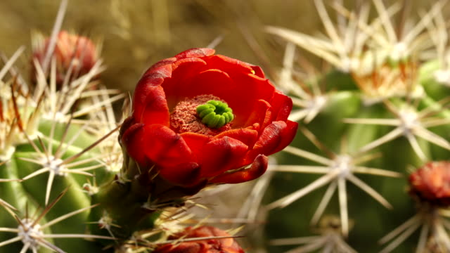 orange cactus flower in bloom - stamen stock videos and b-roll footage