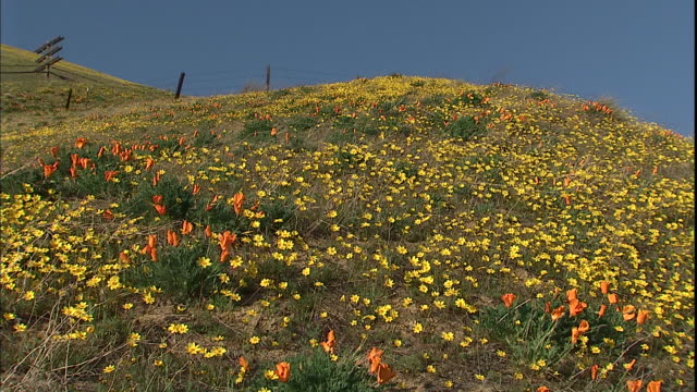 Orange California poppies and yellow wildflowers cover a hillside.