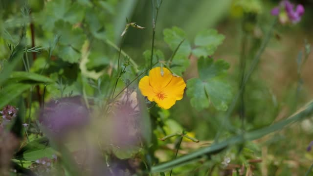 orange canadian garden poppies. beautiful flowers and a beautiful combination of colors. the tenderness and pristine nature. france - remembrance day stock videos & royalty-free footage