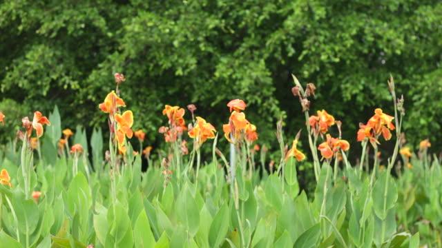 vidéos et rushes de plantes fleuries canna orange dans le vent - lis