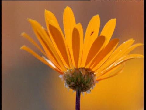 Orange cape daisy flowering in Karoo desert