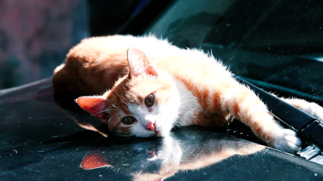 orange cat on the hood of a car. - bonnet stock videos and b-roll footage