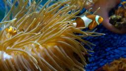 Orange clownfish in the anemone.