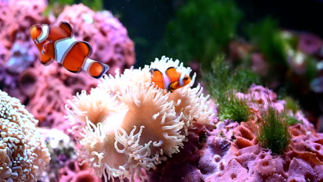 orange clownfish in the elegance coral - aquarium stock videos & royalty-free footage