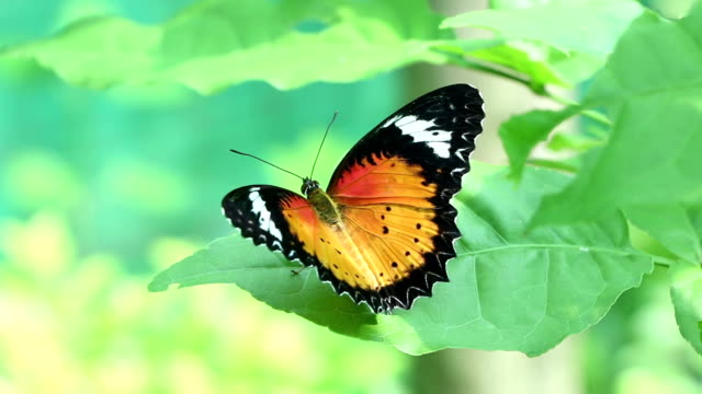 orange colour butterfly - butterfly stock videos & royalty-free footage