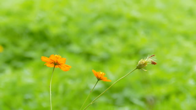 orange cosmos flower. - floral pattern stock videos & royalty-free footage