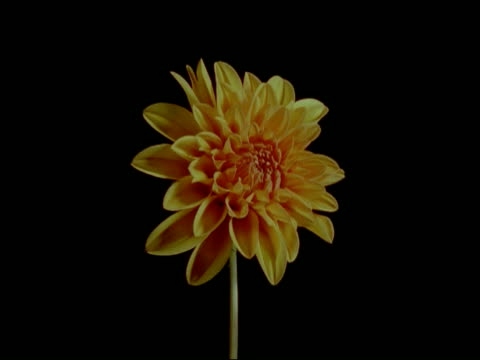 T/L orange Dahlia flower, opens and wilts, black background, zoom in