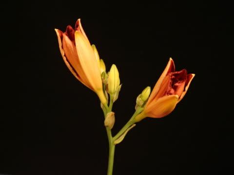 t/l cu orange daylilies blooming  - ワスレナグサ点の映像素材/bロール