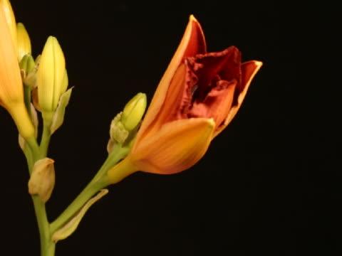 cu t/l orange daylilies blooming  - staubblatt stock-videos und b-roll-filmmaterial