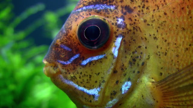 vidéos et rushes de cu orange discus (symphysodon discus), waikiki aquarium, honolulu, hawaii, usa - animaux en captivité