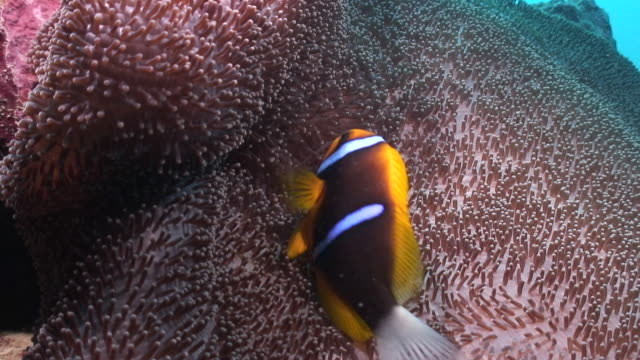 orange finned anemonefish - hiding stock videos & royalty-free footage