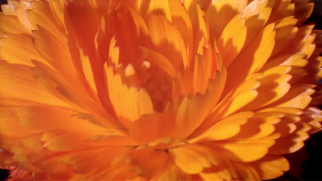 cu t/l zi orange flower blooming  / studio city, california, usa - orange stock videos & royalty-free footage