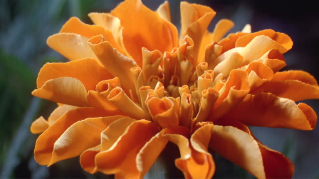 vídeos de stock e filmes b-roll de cu t/l  orange flower blooming  / studio city, california, usa - estame