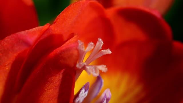 vídeos de stock, filmes e b-roll de cu t/l orange flower with stamen blooming / studio city, california, usa - pistilo