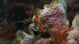 Orange frogfish hiding in coral