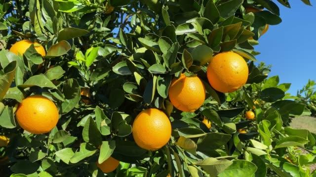 apelsinfrukt i träd - orange bildbanksvideor och videomaterial från bakom kulisserna