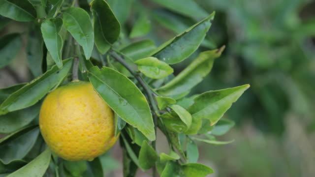 stockvideo's en b-roll-footage met orange fruit - kauai