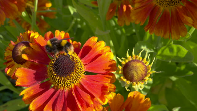 orange garden flower with a busy bumblebee - johnfscott stock videos & royalty-free footage