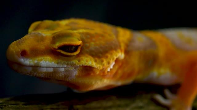 orange gecko lizard, 4k resolution. - eyelash stock videos & royalty-free footage