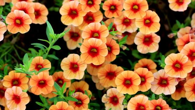 orange geraniums - window box stock videos and b-roll footage