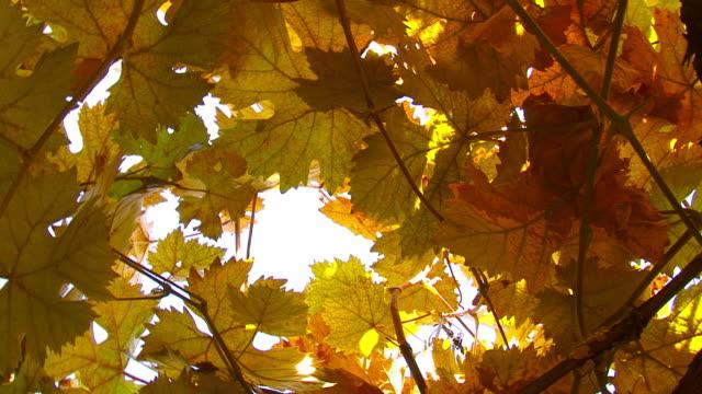 Orange Grape Leaves
