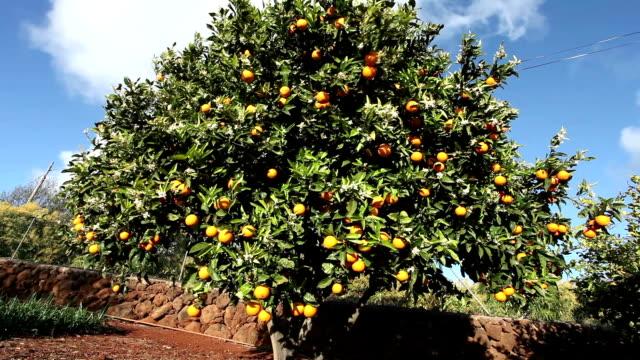 オレンジのグローヴ - オレンジの木点の映像素材/bロール