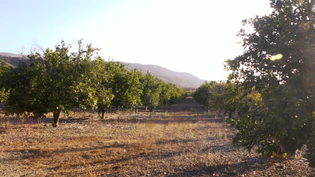 orange groves in ojai california at sunset - agritourism stock videos & royalty-free footage