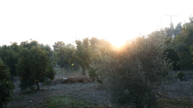 stockvideo's en b-roll-footage met orange groves in ojai california at sunset - boomgaard