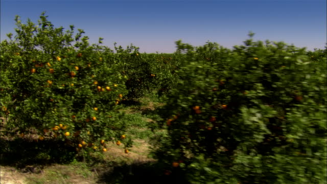 vídeos de stock, filmes e b-roll de ms, ds, orange groves, sebring, florida, usa - pomar