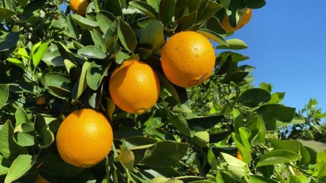 vídeos de stock e filmes b-roll de orange hanging on the tree - bosque