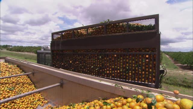 ms orange harvester machine raises huge load of oranges into air and dumps them into truck in orange grove / florida, usa  - オレンジ果樹園点の映像素材/bロール