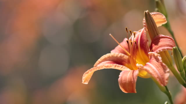 オレンジ キスゲの花 - ワスレナグサ点の映像素材/bロール