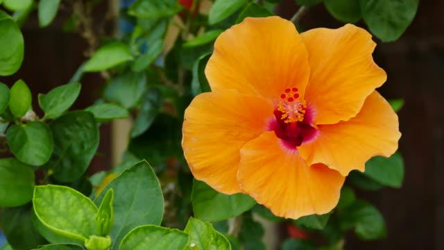 orange hibiskus blumen blühen im botanischen garten - eibisch tropische blume stock-videos und b-roll-filmmaterial
