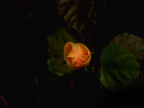 orange hibiscus - artbeats stock videos & royalty-free footage