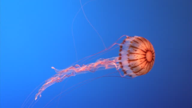 orange jellyfish - one animal stock videos & royalty-free footage