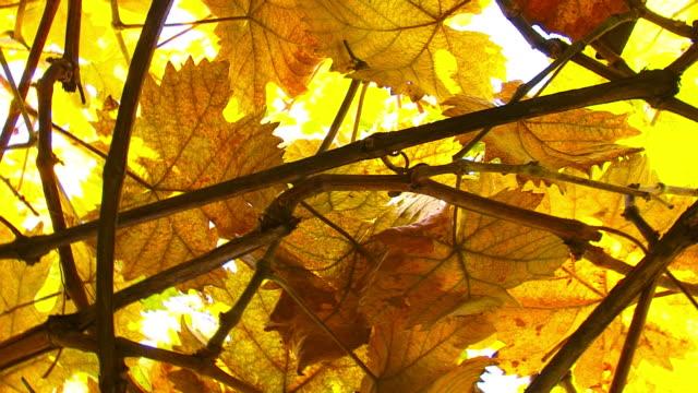vídeos y material grabado en eventos de stock de hojas de orange - hoja de la vid