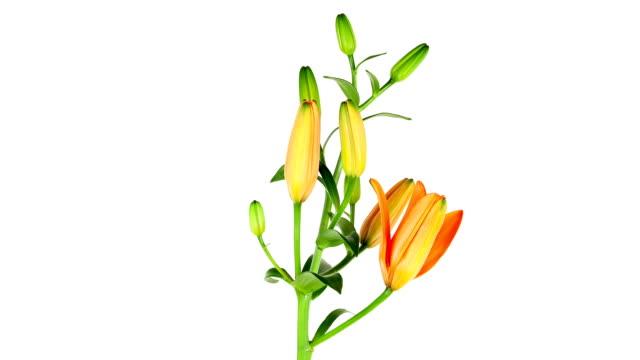 vídeos de stock, filmes e b-roll de lapso de tempo de lírios laranja; - processo vegetal