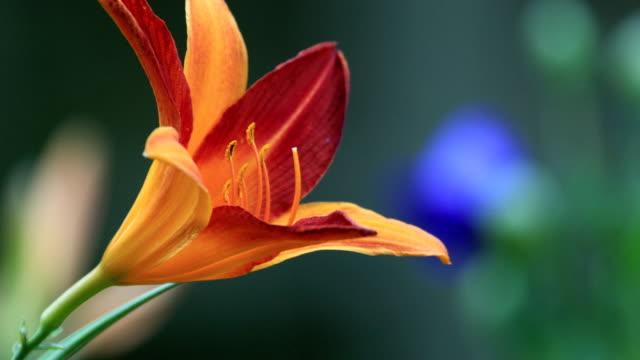 Orange liliums