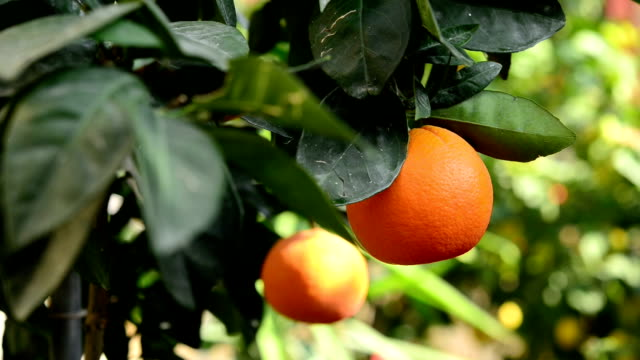 orange on the branch - branch stock videos & royalty-free footage
